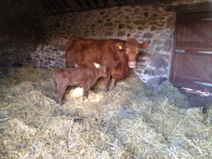 Our first calf born 2015